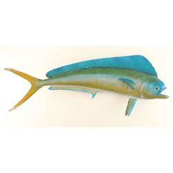 Full mounted Dolphin Fish
