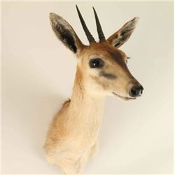 Dik-Dik Head Mount