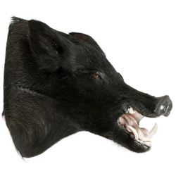 "Wild Boar Trophy Mount, H 21"", D 20"""