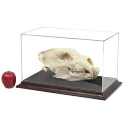 "Large Bear Skull. Length 14"" (with Display Case)"