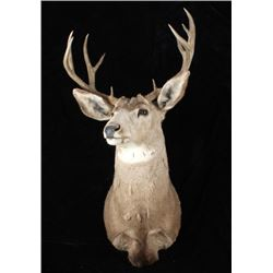 Montana Mule Deer Taxidermy Shoulder Mount