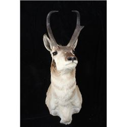 Montana Pronghorn Taxidermy Trophy Shoulder Mount