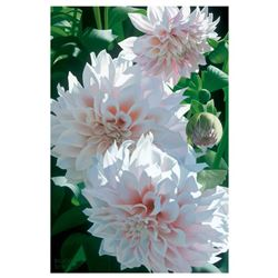Three Pink Dahlias by Davis, Brian