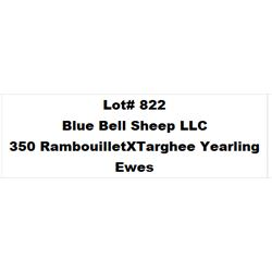 Lot 822 - Blue Bell Sheep LLC  - 350 head of Rambouillet X Targhee Yearling Ewes