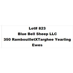 Lot 823 - Blue Bell Sheep LLC  - 350 head of Rambouillet X Targhee Yearling Ewes