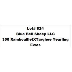 Lot 824 - Blue Bell Sheep LLC  - 350 head of Rambouillet X Targhee Yearling Ewes
