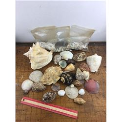 Large lot of Seashells