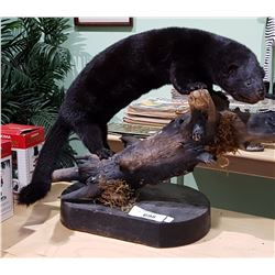 MOUNTED MINK TAXIDERMY