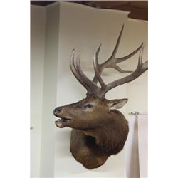 Large neck mount bull elk