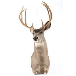 Montana Taxidermy White Tail Deer Shoulder Mount