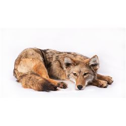 "Soft Mount Coyote, 24"" curled up"