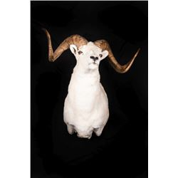 "Full Curl Alaska Dall Sheep Wall Mount, 27"" wide"