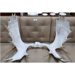 LARGE SET MOOSE ANTLERS