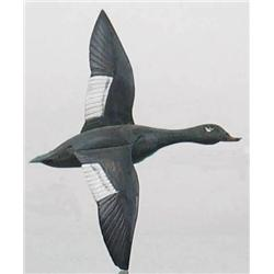 Miniature flying white wing scoter drake with a 6