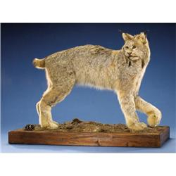 CANADIAN LYNX FULL-BODY MOUNT