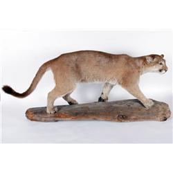 Full Mountain Lion Mount on Log Excellent overall condition.Excellent overall condition.