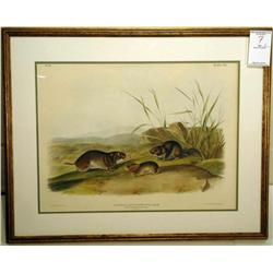 Yellow Cheeked Meadow Mouse; Artist: Audubon