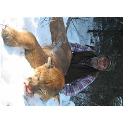 Cougar Hunt with Findlay Creek Outfitters