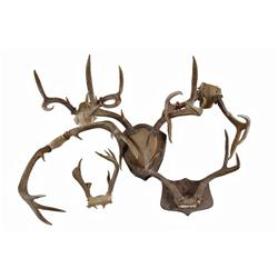 Collection of 6 Sets of Deer Antlers