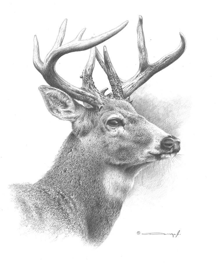 It is an image of Crush White Tailed Deer Drawing